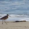 1/24 malibu lagoon marbled godwit
