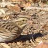 12/31 another look at a savannah sparrow, sepulveda basin