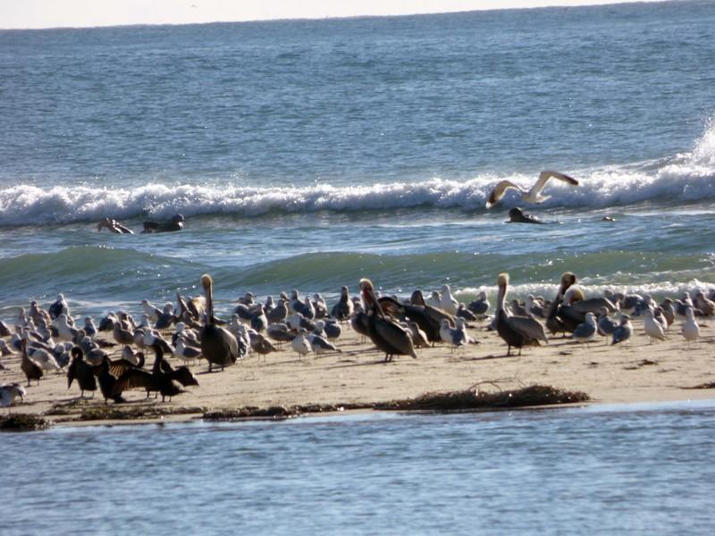 1/24 surfers, gulls, brown pelicans, cormorants all enjoying a beautiful Sunday morning at the beach