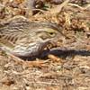 12/31 savannah sparrow, sepulveda basin