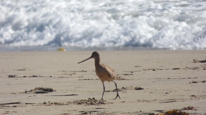 1/24 marbled godwit malibu lagoon/beach