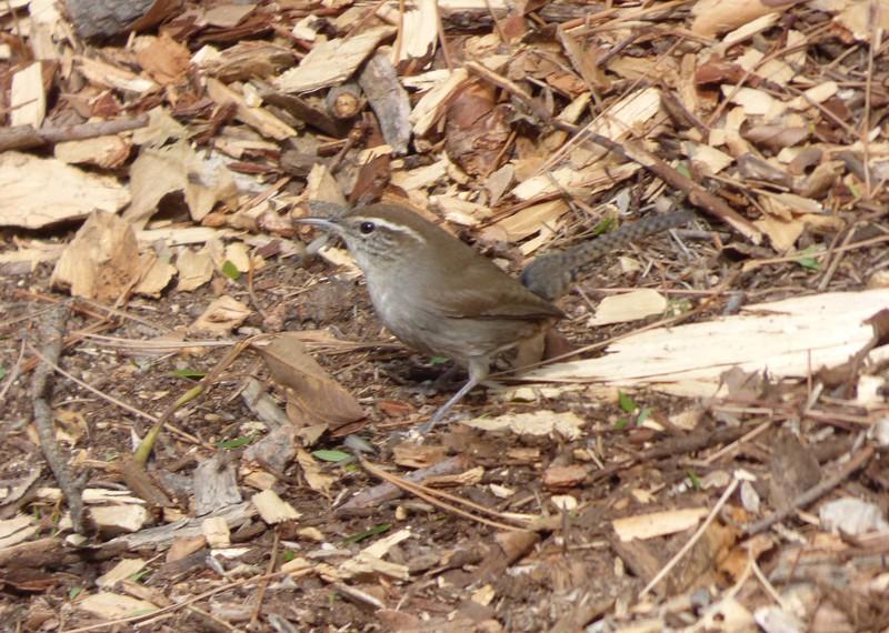 12/24 a busy bewick's wren in the underbrush, Veteran's Park, Sylmar