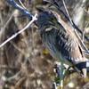 12/31 a juvie Black crowned night heron, sepulveda basin