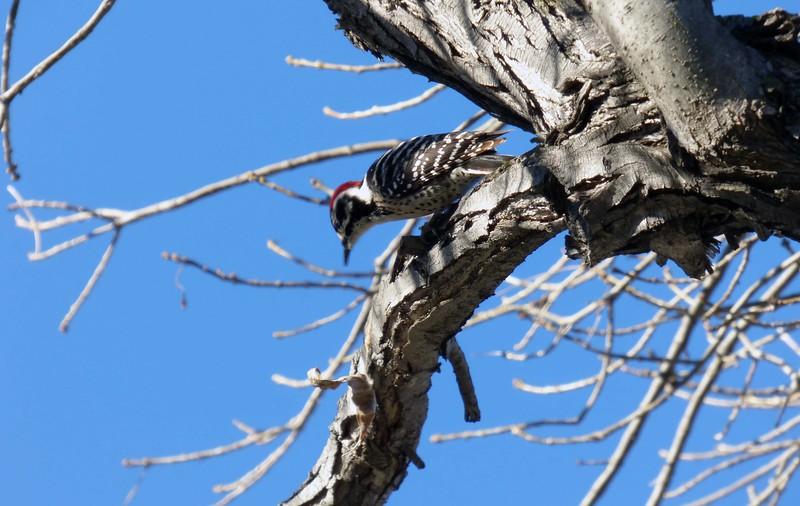 2/7 male nuttall's woodpecer