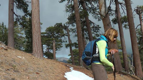 sugar pine cone and Jeffrey pine cone