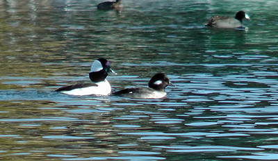 Male Bufflehead (left) and female
