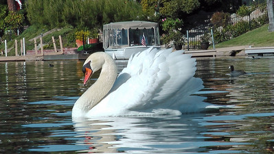 Mute swan (male) arching feathers, a territorial display