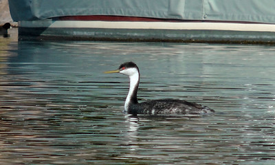 Western Grebe Similar to Clark's Grebe, but Clark's Grebe has white in front of eyes.