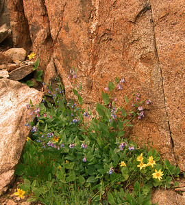 alpine bluebells and arnica at 11,000 feet