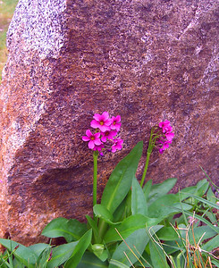 alpine primrose at 11,000 feet