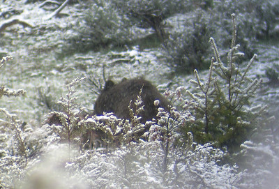 Female grizzly on an elk carcass observed through spotting scope, May 9