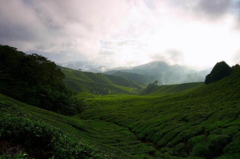 云朵纷飞的清晨,阳光的追逐戏弄着茶园的绿色。这次是含蓄的暗绿。