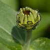 Flower bud 3