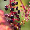 Berries_TaylorstownWalk-3200
