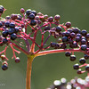 Berries_TaylorstownWalk-3209