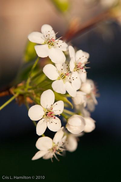 CherryBlossoms-7495