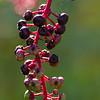 Berries_TaylorstownWalk-3201