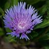 Purple flower-2187