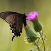 Swallowtail_BlackTylstwn-3321