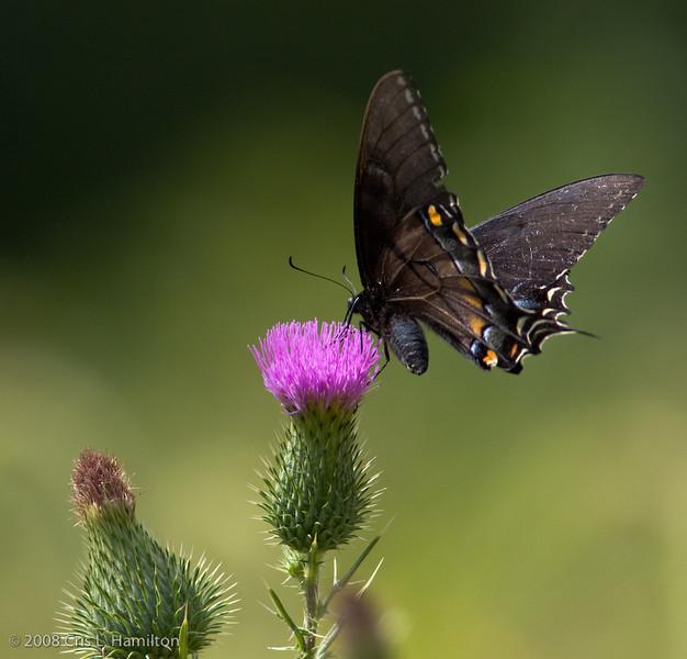 Swallowtail_BlackTylstwn-3327