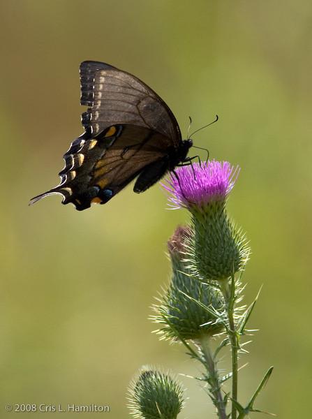 Swallowtail_BlackTylstwn-3299