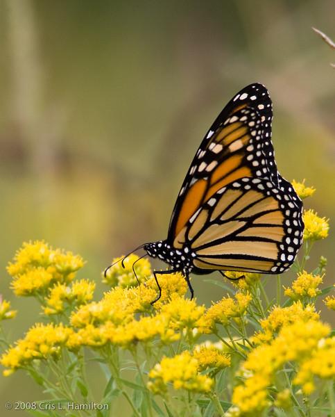 MonarchTylstwn-3406