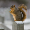 Squirrel-2342