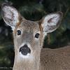 Deer-2318