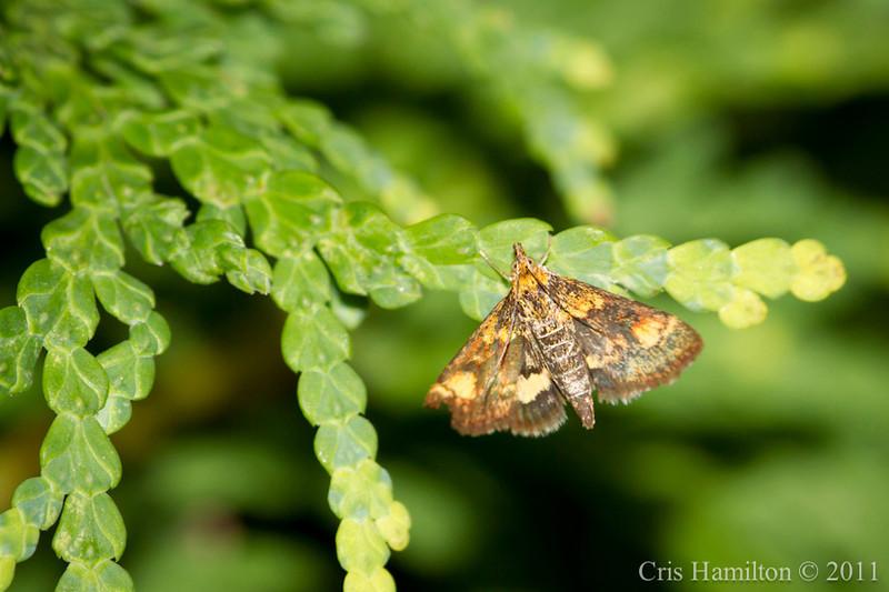 Orange Mint Moth?-8120