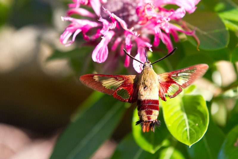 Moth-Hummingbird-6839