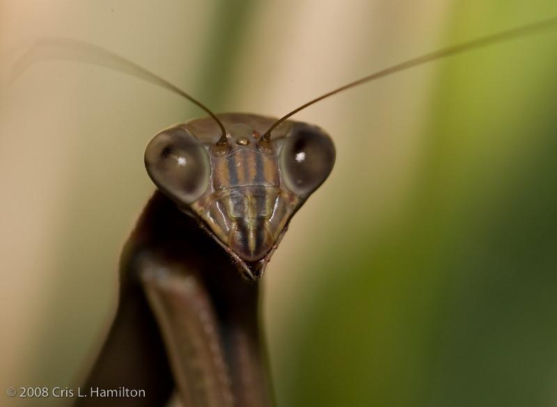 Praying Mantis-4481