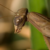 Praying Mantis-0716