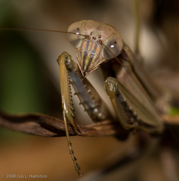 Praying Mantis-4445
