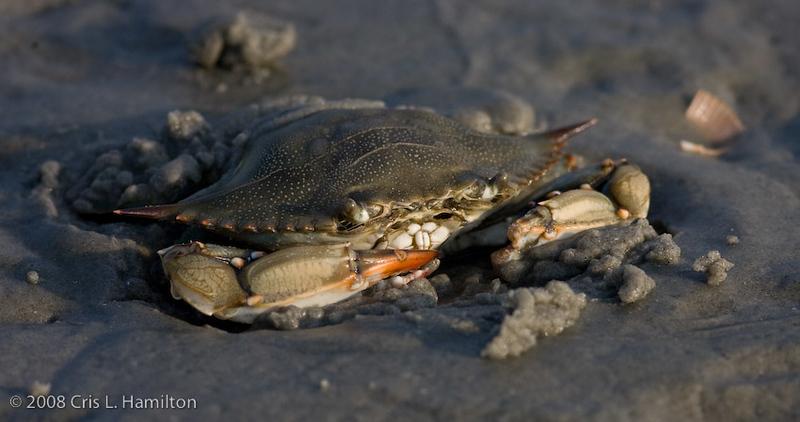 Crab Sunset Beach-6954