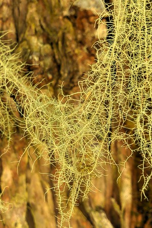 Interlaced Lichen