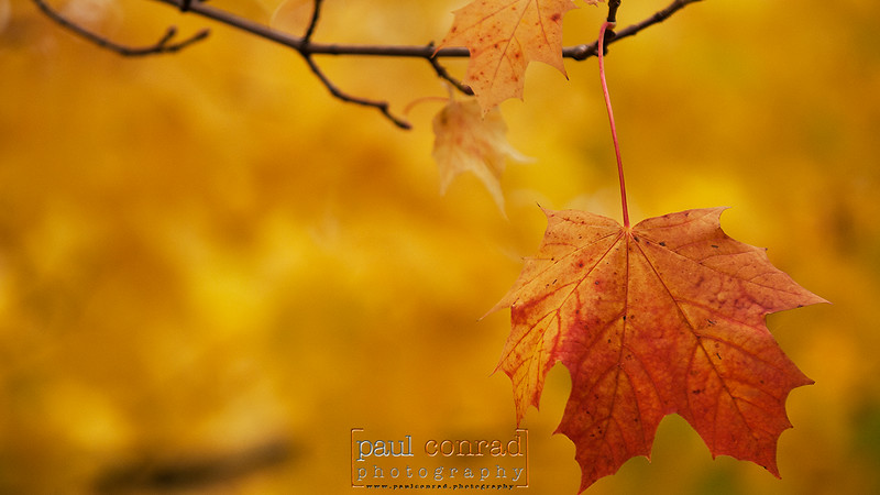 © Paul Conrad/Paul Conrad Photography<br /> A lone read leaf stands against a forest of yellow on an Oak tree on Northwest Avenue in Bellingham, Wash., on Friday morning Oct. 28, 2011. © Paul Conrad/Paul Conrad Photography - Rights limited to laptop/desktop computer usage only. No printing allowed.