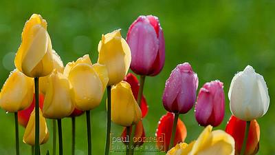 Roadside Tulips