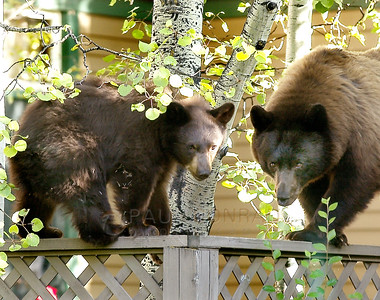© 2008 Paul Conrad/Pablo Conrad Photography With her cub by her side, a mother black bear closely watches a crowd of people as the two use a fence on East Hallam in Aspen, Colo.  Send Me Your Thoughts and Questions