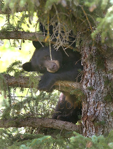 © 2008 Paul Conrad/Pablo Conrad Photography Using a tree limb for a pillow, a black bear naps near Crystal Lake Road on the east side of Aspen, Colo.  Send Me Your Thoughts and Questions