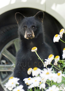© 2008 Paul Conrad/Pablo Conrad Photography A bear cub peeks its head above a planter of daisies on West Bleeker and 7th Streets in Aspen, Colo.  Send Me Your Thoughts and Questions