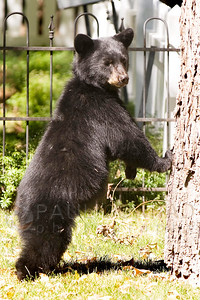 © 2008 Paul Conrad/Pablo Conrad Photography A bear cub looks around at its surroundings in front of a home on West Hallam Street in Aspen, Colo.  Send Me Your Thoughts and Questions