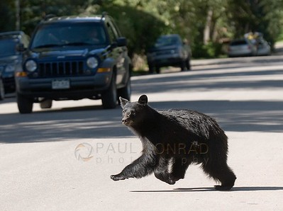 © 2008 Paul Conrad/Pablo Conrad Photography A black bear runs down Hallam Street in Aspen, Colo.   Send Me Your Thoughts and Questions