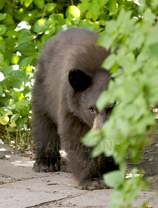 © 2008 Paul Conrad/Pablo Conrad Photography A black bear cub peeks from behind the bushes in Aspen, Colo.  Send Me Your Thoughts and Questions