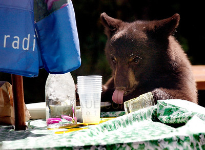 © Paul Conrad/Pablo Conrad Photography A bear cub licks up spilled orange juice at Main Street Bakery in Aspen, Colo.  Send Me Your Thoughts and Questions
