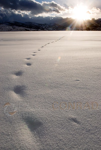 © Paul Conrad/Pablo Conrad Photography  Snow covered tracks leave only a whisper of an animal's passing on a field along McLain Flats Road outside Aspen, Colo