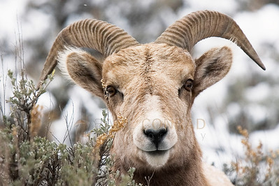 © Paul Conrad/Pablo Conrad Photography  Only a few short yards away as it attempts to hide in the bush, a bighorn sheep, Ovis canadensis, closely watches the photographer on Frying Pan Road just outside Basalt, Colo.
