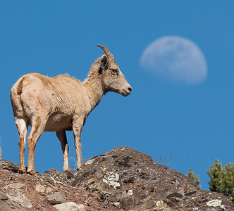 © Paul Conrad/Pablo Conrad Photography  A bighorn sheep, Ovis canadensis, keeps a watchful eye near Basalt, Colo., as the waxing crescent Moons hangs nearby.