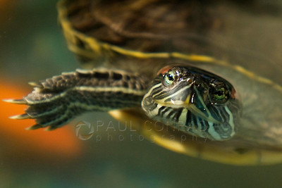 ©Paul Conrad/Pablo Conrad Photography  A red eared slider turtle, Trachemys scripta elegans, pokes its head out of its tank.