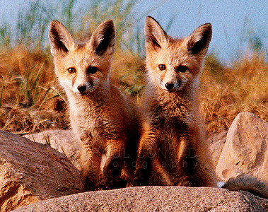 © Paul Conrad/Pablo Conrad Photography  With their mom away hunting for food,  a pair of red fox cubs, Vulpes vulpes, get curious about the photographer as they sit just outside their den on Park Avenue in Aspen, Colo.