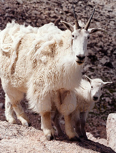 © Paul Conrad/Pablo Conrad Photography  A mother mountain goat and her kid near the top of Mount Evans in Colorado.